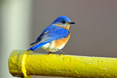 Eastern Bluebird. Male Eastern Bluebird resting on pipe at Bombay Hook National Wildlife Refuge Royalty Free Stock Image
