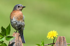 Eastern Bluebird Royalty Free Stock Image