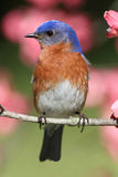 Eastern Bluebird. Male Eastern Bluebird (Sialia sialis) in a Dogwood tree with flowers Stock Photography