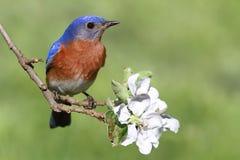 Eastern Bluebird. Male Eastern Bluebird (Sialia sialis) in an apple tree with flowers Royalty Free Stock Image