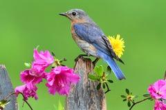 Eastern Bluebird. Female Eastern Bluebird (Sialia sialis) on a fence with azalea flowers Stock Images