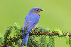 Eastern Bluebird. Male Eastern Bluebird (Sialia sialis) on a spruce branch Stock Images