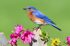 Free Eastern Bluebird Royalty Free Stock Photography - 19817187