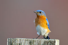 Eastern Bluebird. Male Eastern Bluebird sitting on a post Stock Photography