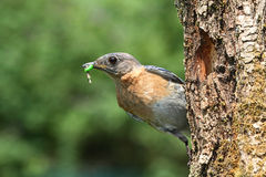 Eastern Bluebird Royalty Free Stock Photos