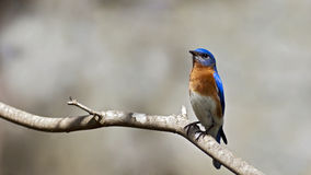Eastern Bluebird. An eastern bluebird sitting on a branch Royalty Free Stock Image