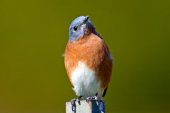 Eastern Bluebird. Sitting on a post head turned Royalty Free Stock Images