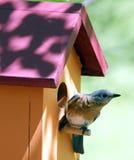 Eastern bluebird. An eastern bluebird sitting at its bird house Royalty Free Stock Photography