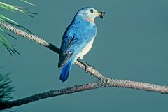 Eastern bluebird. Taken at burwash ont Royalty Free Stock Photography