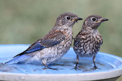 Eastern Bluebird Beating The Heat Royalty Free Stock Photos