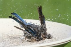Eastern Bluebird Beating The Heat Royalty Free Stock Photo
