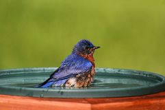 Eastern Bluebird Beating The Heat Stock Photography