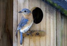 Eastern Bluebird bird nest box garden arbor birdhouses. Eastern Bluebird thrush, Sialia sialis, birdhouse nest box, garden arbor birdhouses. Athens, Georgia, USA Stock Photography