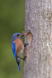 Eastern Bluebird bringing food to the nest Stock Photography