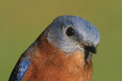 Eastern Bluebird Closeup Stock Images
