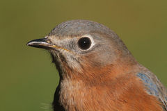 Eastern Bluebird Closeup Stock Photo
