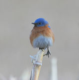 Eastern Bluebird on Cornstalk. Eastern Bluebird on a cornstalk in a snow-covered field in winter Stock Photography