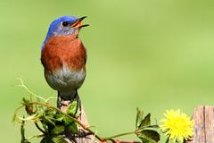 Eastern Bluebird with Dandilion Royalty Free Stock Photos