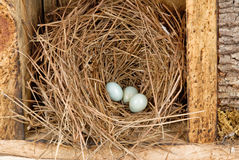 Eastern bluebird eggs in a natural pine straw nest Royalty Free Stock Photos