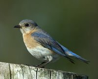 Eastern Bluebird Female Royalty Free Stock Photo