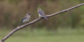 Eastern Bluebird Female with Fledgling Royalty Free Stock Photography