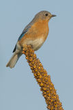 Eastern Bluebird. Stock Photography