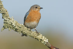 Eastern Bluebird. Stock Images