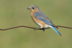 Eastern Bluebird. Royalty Free Stock Images