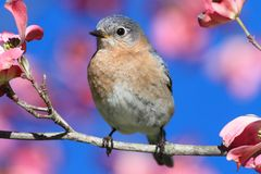 Eastern Bluebird Stock Photography