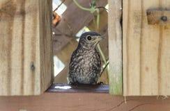 Eastern Bluebird Fledgling Stock Images