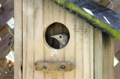 Eastern Bluebird Fledgling peeking from birdhouse nest box Royalty Free Stock Images