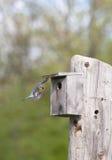 Eastern Bluebird in flight Royalty Free Stock Photo