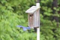 Eastern Bluebird in Flight. A male Eastern Bluebird in flight Royalty Free Stock Images