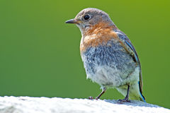 Eastern Bluebird Juvenile Stock Photos