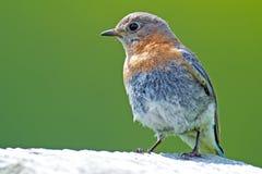 Eastern Bluebird Juvenile Stock Photos