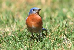 Eastern Bluebird on a Lawn Royalty Free Stock Photography