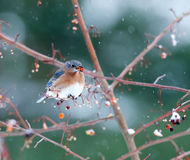 Eastern bluebird in light snowstorm Stock Image