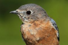 Eastern Bluebird Macro Stock Photography