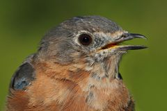 Eastern Bluebird Macro Royalty Free Stock Images