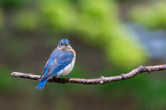 Eastern Bluebird. Male Eastern Bluebird perched on a branch Stock Photography