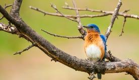 Eastern Bluebird. Royalty Free Stock Photography