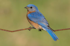 Eastern Bluebird. Royalty Free Stock Photo