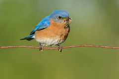 Eastern Bluebird Stock Photography