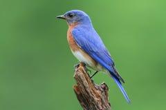 Eastern Bluebird. Male Eastern Bluebird (Sialia sialis) on a stump Stock Photography