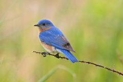 Eastern Bluebird Male. Male Eastern Bluebird (Sialia sialis) on a thorny branch Stock Photography