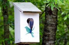 Eastern Bluebird at Nest Box. Backyard birding Eastern Bluebird feeding young at nest box Stock Photo