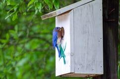 Eastern Bluebird at Nest Box. Backyard birding Eastern Bluebird feeding young at nest box Stock Photography