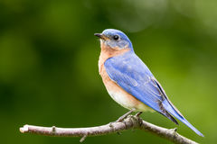 Eastern Bluebird perched Stock Photography