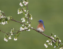 Eastern Bluebird Perched on in Blossoms Stock Photos