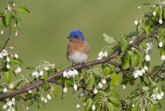 Eastern Bluebird Perched on in Blossoms Stock Photo